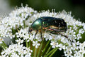 Rose Chafer, Cetonia Aurata Royalty Free Stock Photography - 15636667