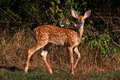 White-tailed Deer Fawn Royalty Free Stock Image - 15644816