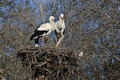 Pair Of White Storks On Their Nest. Royalty Free Stock Photography - 15659687