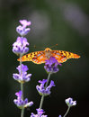 Butterfly Perched On A Lavender Flower Royalty Free Stock Photos - 15665118
