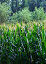 Corn Field Royalty Free Stock Images - 15674629