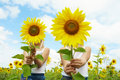 Behind Sunflowers Royalty Free Stock Photo - 15675585