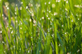 Grass In Dew Stock Image - 15700621