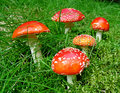 Five  Fly Agaric Mushrooms Royalty Free Stock Images - 15712469