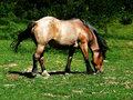 Horse Grazing Stock Images - 15723104