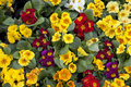 Primula Flowers Stock Image - 15740871