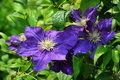 Blue Clematis Royalty Free Stock Image - 15749136