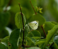 Green-veined White Butterfly Royalty Free Stock Image - 15757876
