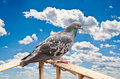 Pigeon Royalty Free Stock Photography - 15788957