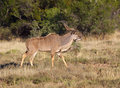 Kudu Bull Royalty Free Stock Images - 15796709