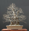 Chinese Quince Bonsai, Winter Silhouette Royalty Free Stock Photography - 1586977