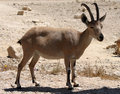 Billy Goat In The Desert Royalty Free Stock Photo - 15805855