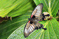 Great Mormon Butterfly Royalty Free Stock Images - 15811169