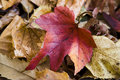 Autumn Red Leaf Ground Royalty Free Stock Image - 15825866