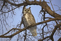 Great Horned Owl Stock Photo - 15832230