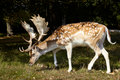 Sika Deer With Big Horning Stock Images - 15840644