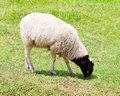 Sheep Eating Grass Royalty Free Stock Images - 15842119