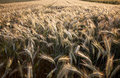 Fields Of Wheat In Summer Stock Images - 15861024