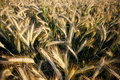 Fields Of Wheat In Summer Stock Image - 15861041