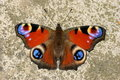 Peacock Butterfly , Inachis Io Royalty Free Stock Photos - 15862128
