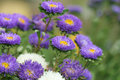 Aster Royalty Free Stock Photo - 15882965
