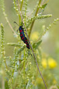 Spotted Bugs On A Weed Royalty Free Stock Photo - 15893365