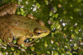 Frog In The Swamp Stock Photo - 1592000