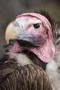 Lappet Faced Vulture Royalty Free Stock Image - 1596966