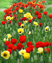 Red And Yellow Tulips Stock Photos - 15909183