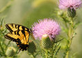 Swallowtail Butterfly And Milk Thistle Royalty Free Stock Photo - 15909425