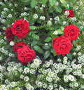 Bush Of Red Roses Royalty Free Stock Photos - 15966048