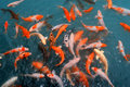 Red And Gold Fishes Stock Photo - 15967090