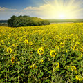 Sunflower Field Over Blue Sky Royalty Free Stock Image - 15991276