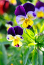 Pansy Stock Images - 15992734
