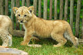 Lion Cub Royalty Free Stock Photo - 1600285