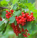 Red Currant Stock Image - 1600451