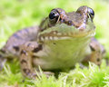 Green Frog Royalty Free Stock Image - 1602386