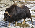 Musk-ox Royalty Free Stock Photography - 16016197