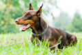 Lying Brown Doberman Pinscher Stock Photos - 16021143