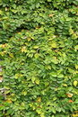 Leaves Wall Texture Royalty Free Stock Images - 16034039