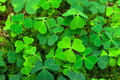 Shamrock Royalty Free Stock Photo - 16034395