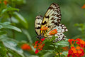 Idea Leuconoe Butterfly Royalty Free Stock Images - 16039489