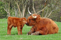 Cow And Cute Calf Of Highland Cattle Stock Image - 16043051