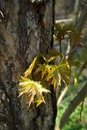 Young Norway Maple Leaves Royalty Free Stock Image - 16069346