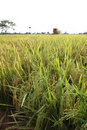 Rice Field Stock Photography - 16081682