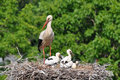 Stork S Babies Royalty Free Stock Images - 16081699