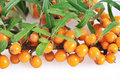 Sea Buckthorn Stock Photography - 16089992