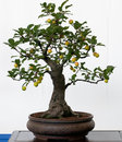 Old Apple Tree As Bonsai Stock Photos - 16116083