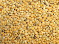 Millet Stock Images - 16117154