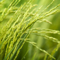 Paddy Rice Stock Image - 16125611